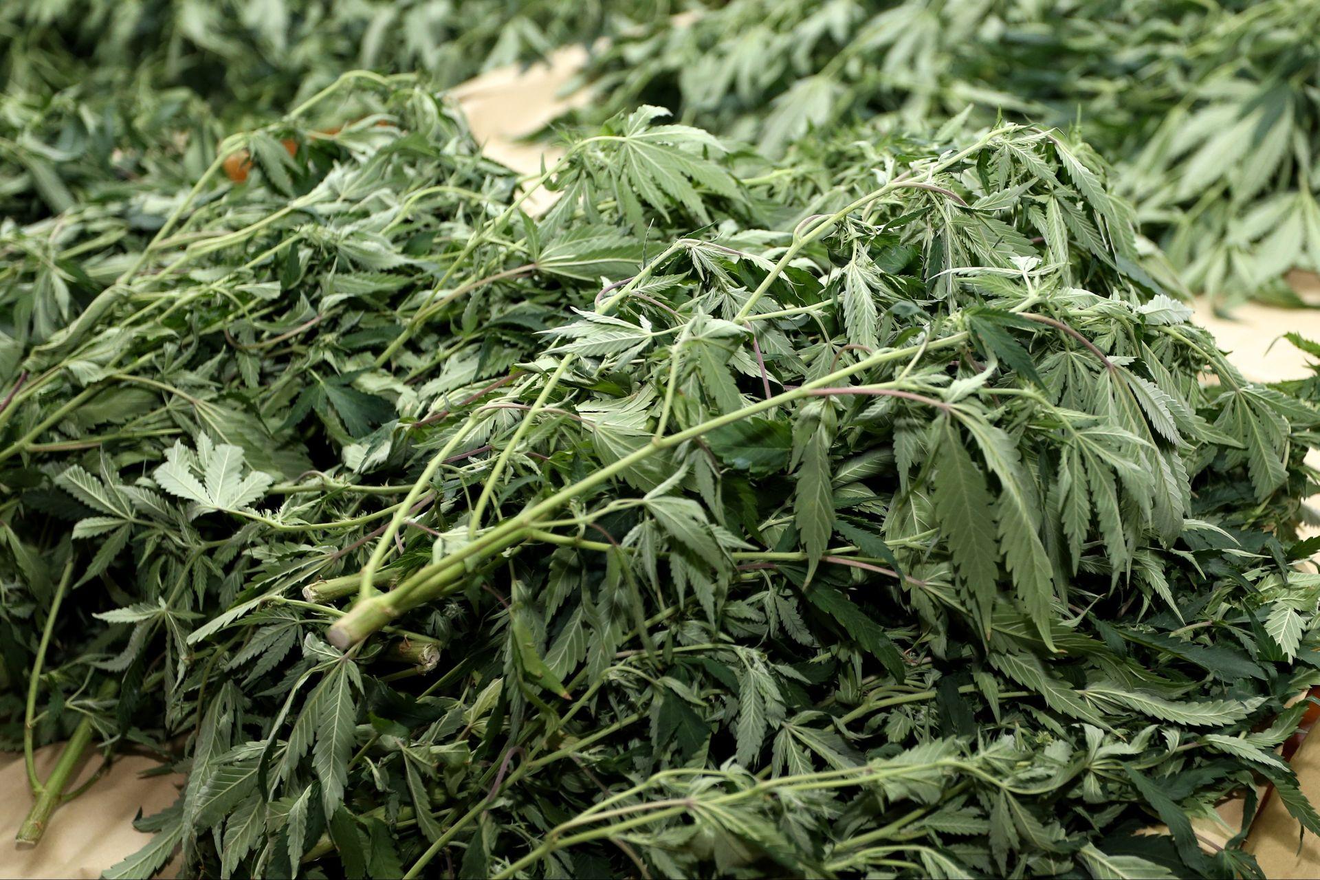 NOVA STUDIJA POKAZALA Terapeutska svojstva marihuane su ograničena