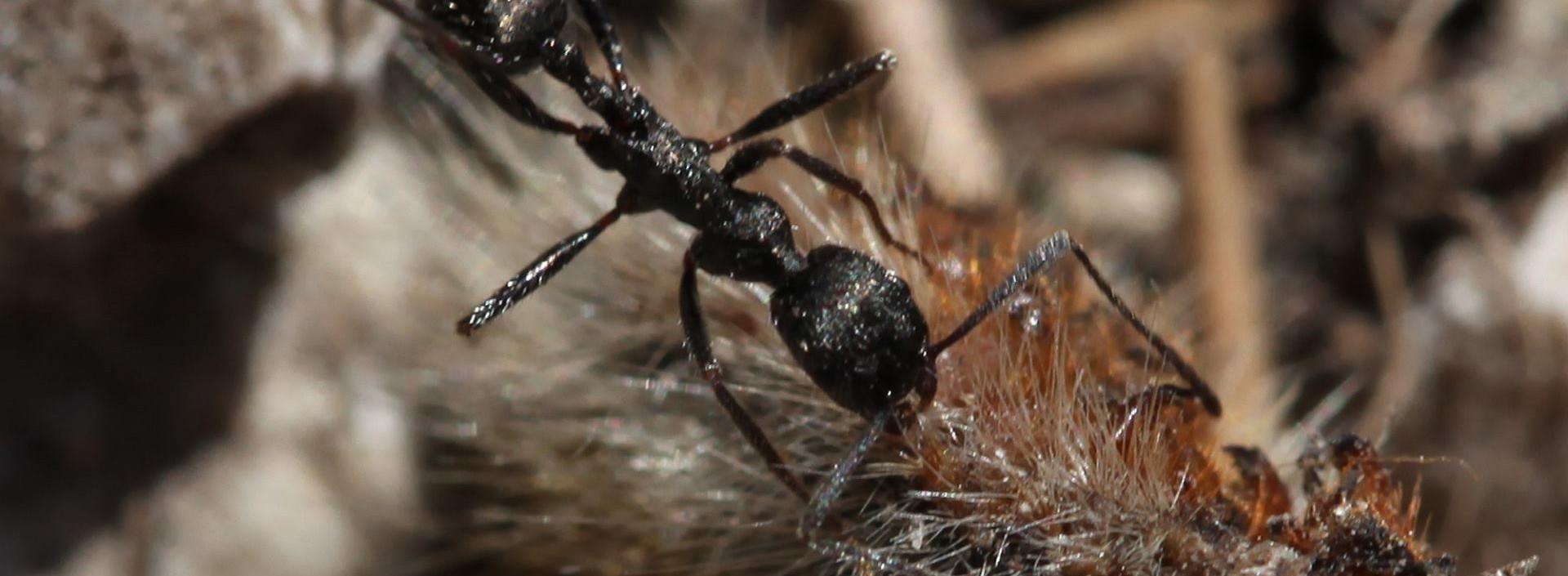 PUSTINJSKI MRAVI Sićušan mozak tih kukaca ima odlične navigacijske sposobnosti
