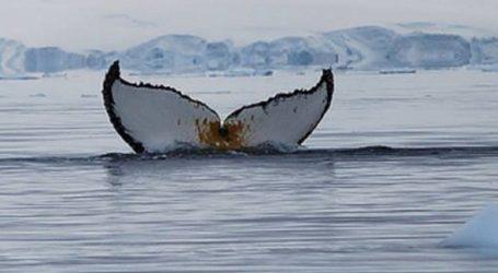 VIDEO: Spašen kit usan koji se nasukao na plaži u Čileu