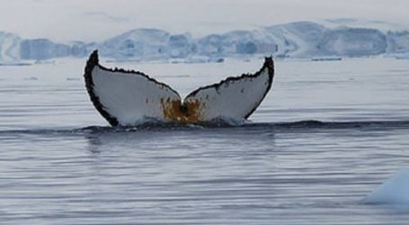 VIDEO: Kitovi ulješure nasukali se na britanskoj obali