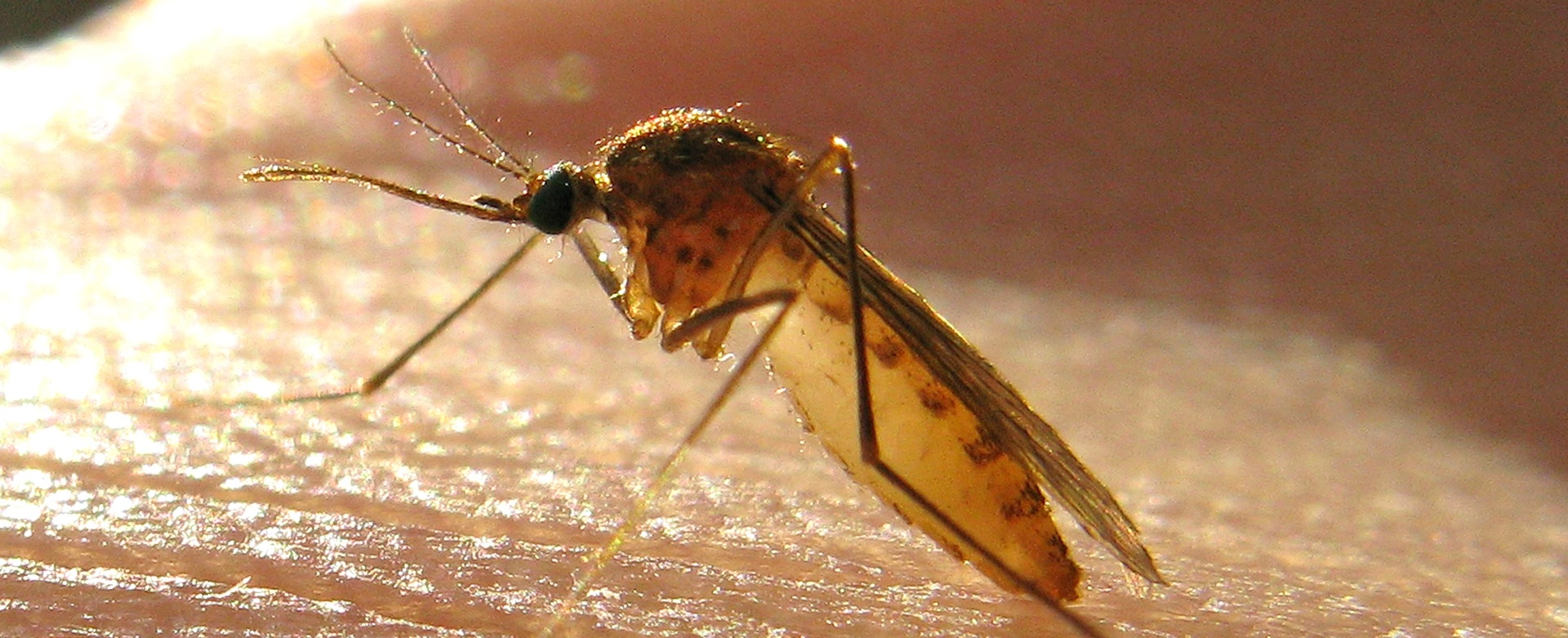 SAVRŠENI LOVCI Komarce prvo privlači miris, a zatim se oslanjaju na vid i toplinu