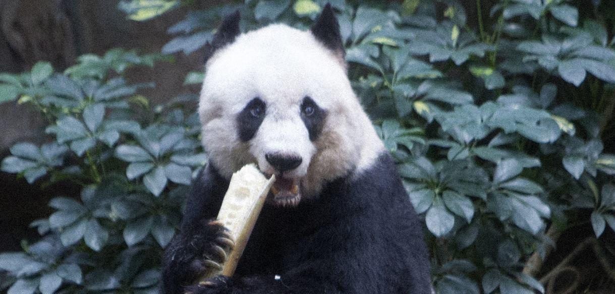 VIDEO: Pogledajmo kako pande provode zimu