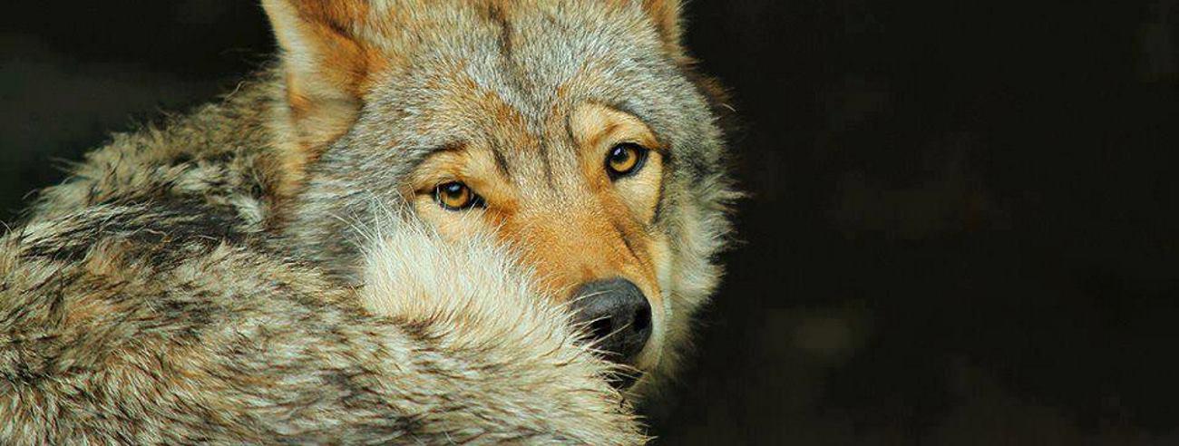 GENETSKE SLIČNOSTI U Africi otkrivena 'nova vrsta' vuka