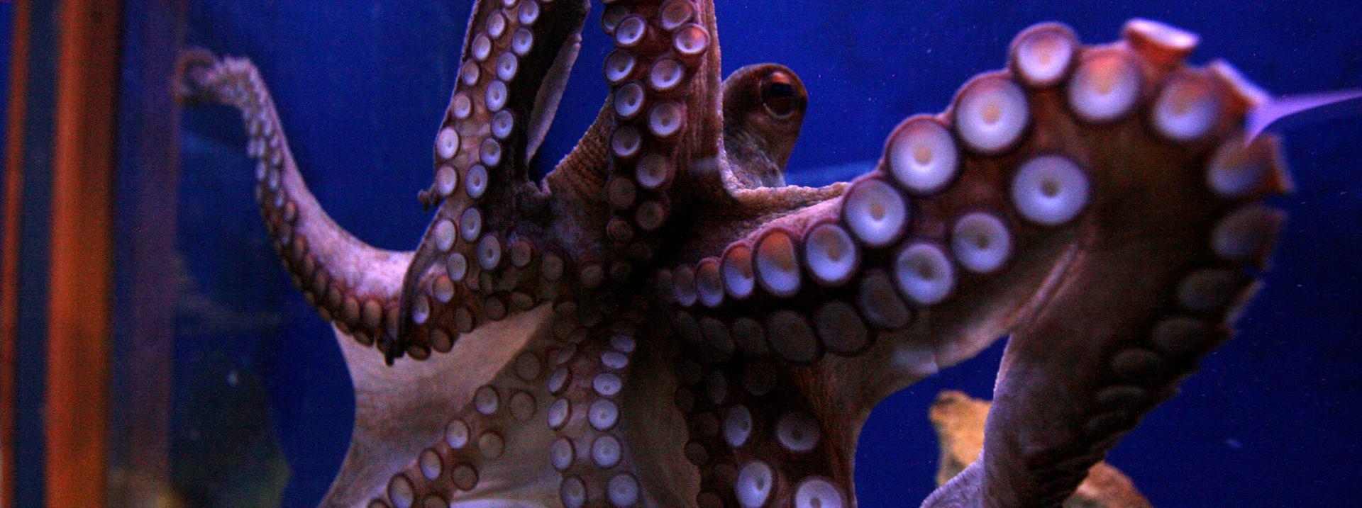 VIDEO: Velika pacifička prugasta hobotnica i njezin način lova