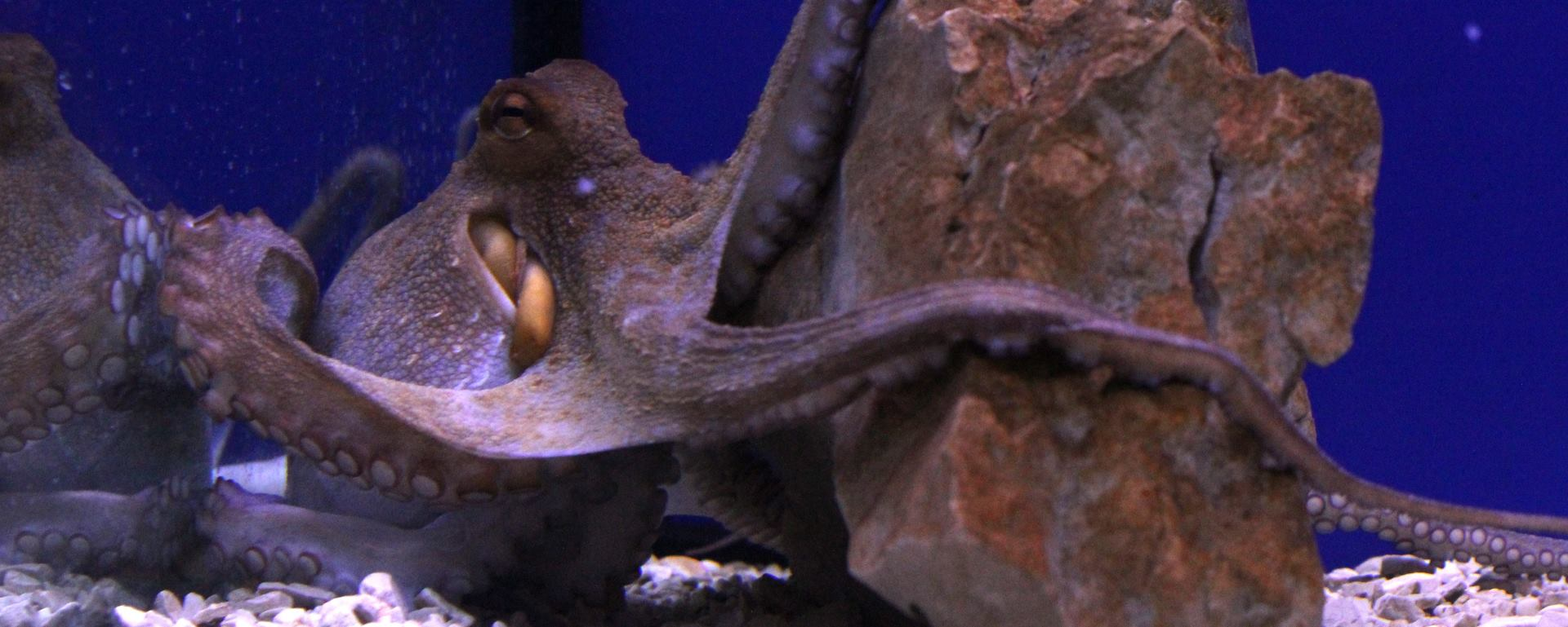 VIDEO: Udvaranje i parenje Velikih pacifičkih prugastih hobotnica
