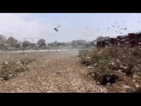 VIDEO: BIBLIJSKA NAJEZDA Milijuni skakavaca napadaju ruske usjeve, proglašeno izvanredno stanje