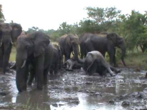 VIDEO: Pogledajmo kako se slonovi kupaju u blatu