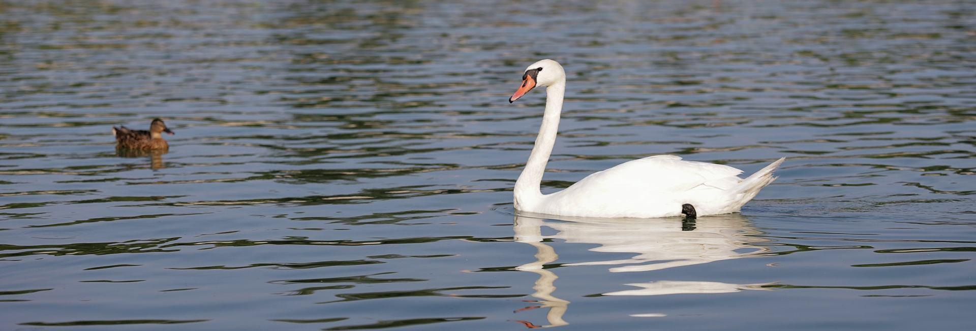 TOLUŠIĆ: Desetak labudova uginulo; ptičja gripa nije opasna za ljude