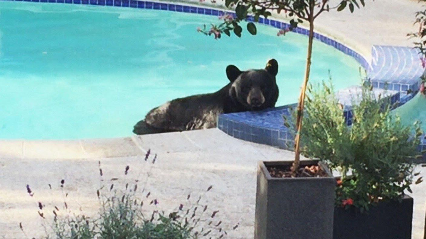 VIDEO: NEDOSTAJAO MU SAMO KOKTEL Medvjed spas od vrućina potražio u obiteljskom bazenu