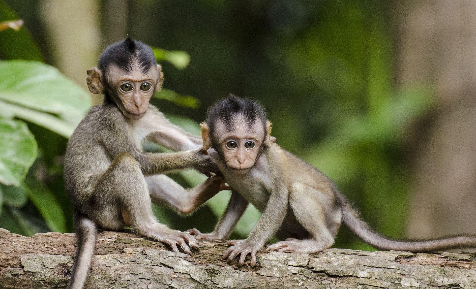 U Makedoniji roditelji za kćer ukrali majmuna iz zoološkog vrta