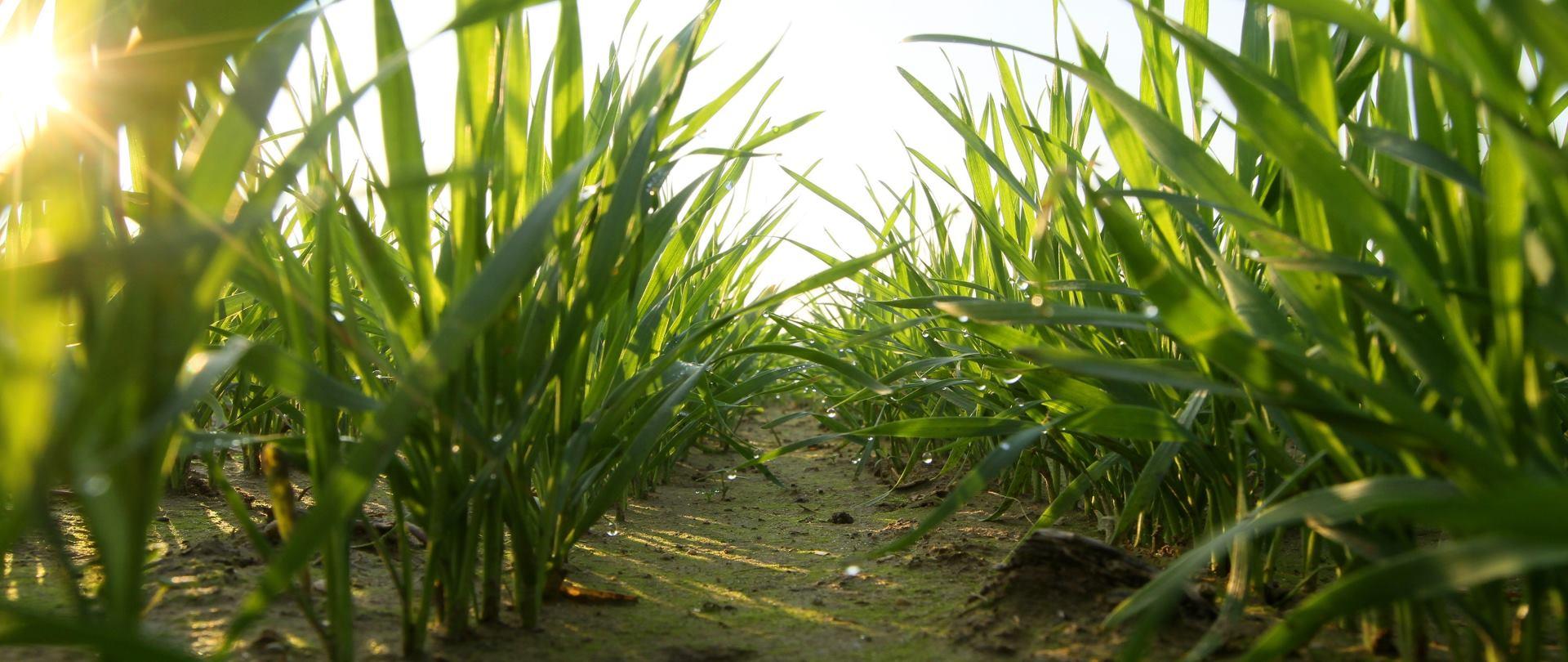 NALAZIŠTE U IZRAELU Uzgoja žitarica počeo 11 tisućljeća prije razdoblja poljoprivrede?