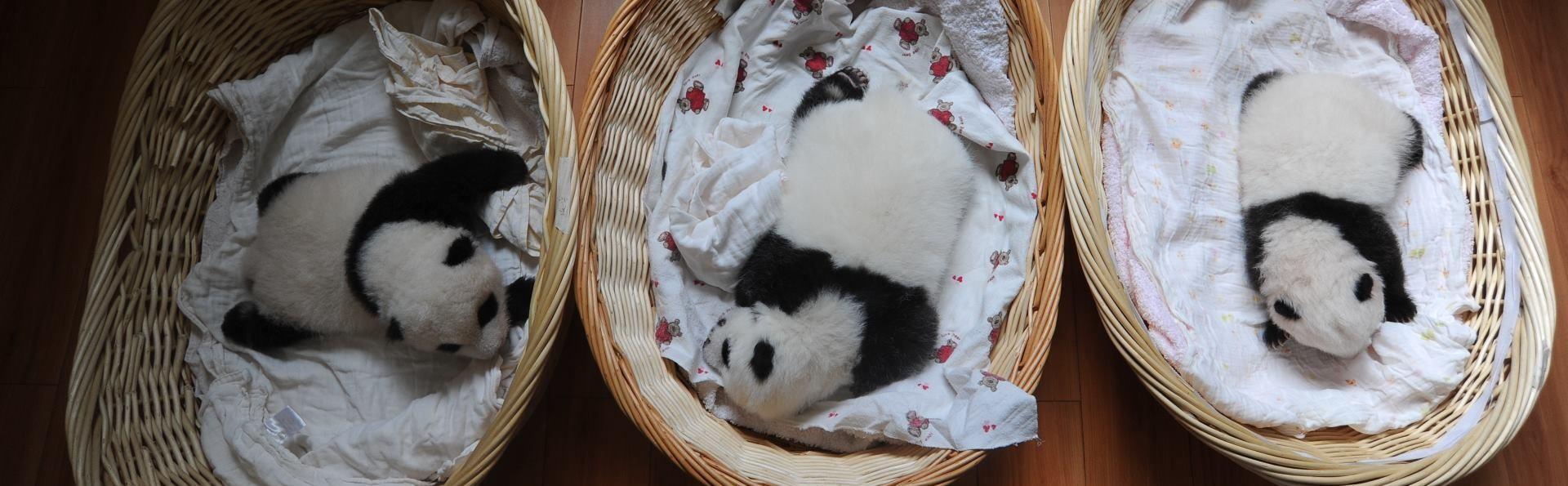 VIDEO: Mladunče velikog pande uživa u maženju