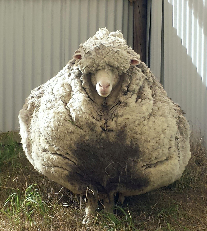 Australska ovca svjetska rekorderka – nosila 42 kg vune
