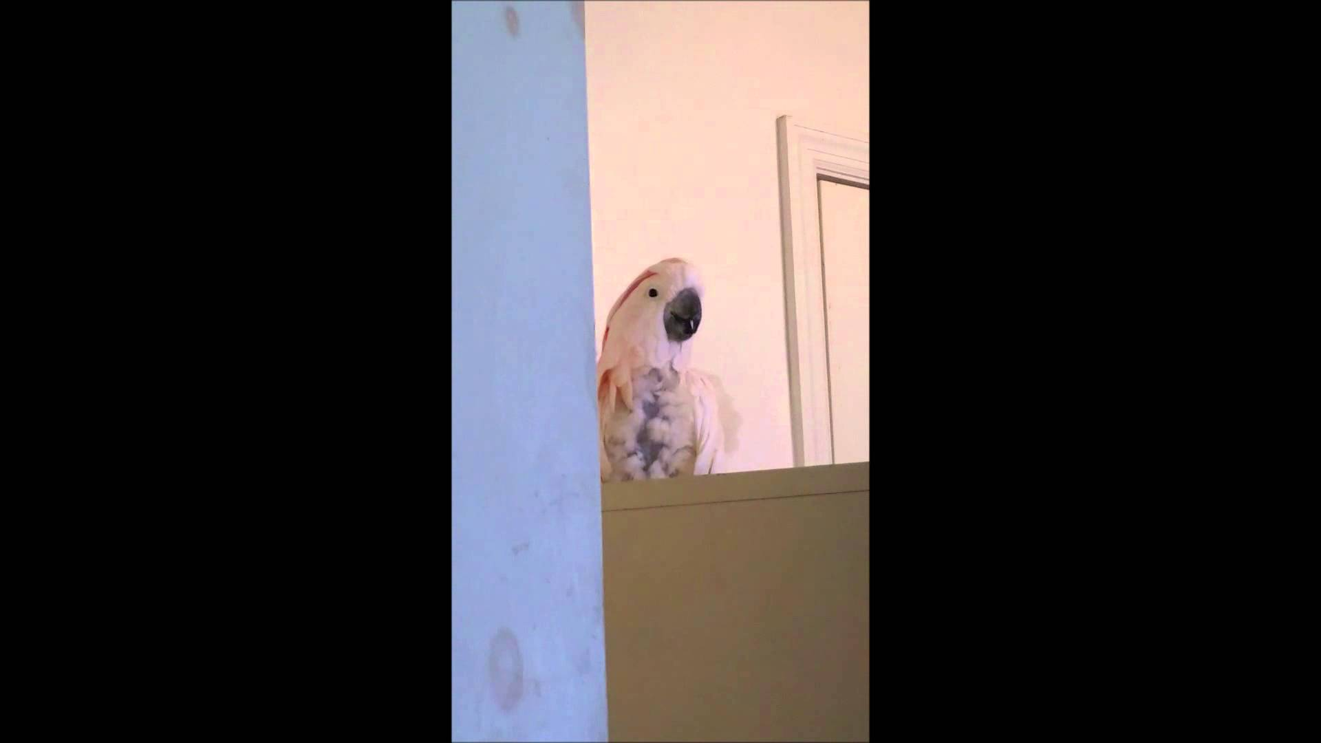 VIDEO: Ovaj kakadue osmislio je pjesmicu