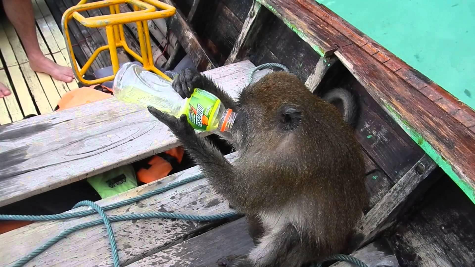 VIDEO: Majmunu energetsko piće dalo snage za zaron