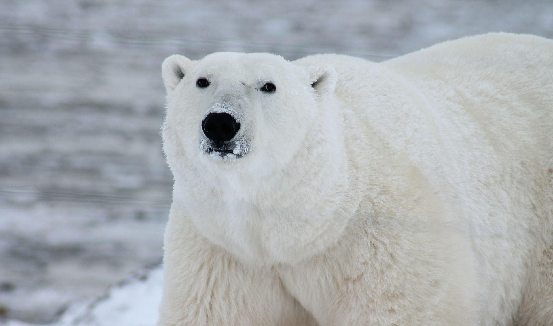 'OPSADA' NA SJEVERU RUSIJE Polarni medvjedi 'zarobili' meteorologe