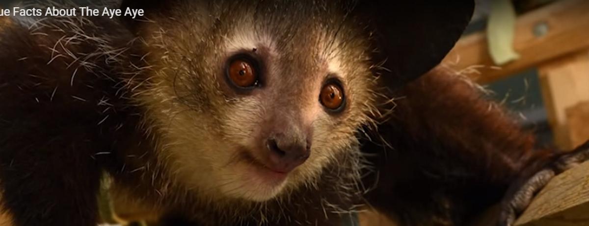 VIDEO: Mladunče rijetkog madagaskarskog majmuna Aj-aja