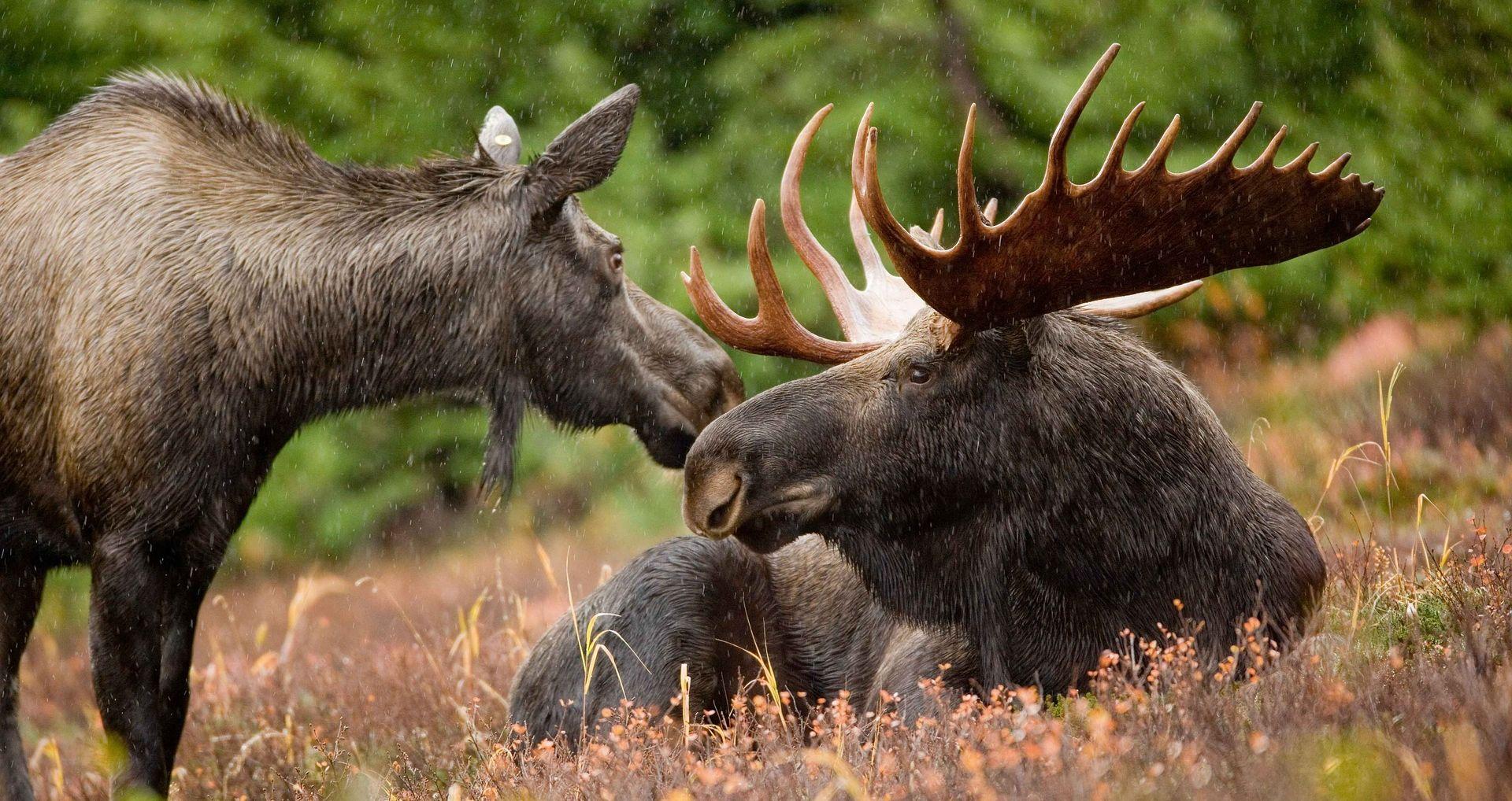 NESTRPLJIVOST Norveški lovac ubio dva losa u – zoološkom vrtu
