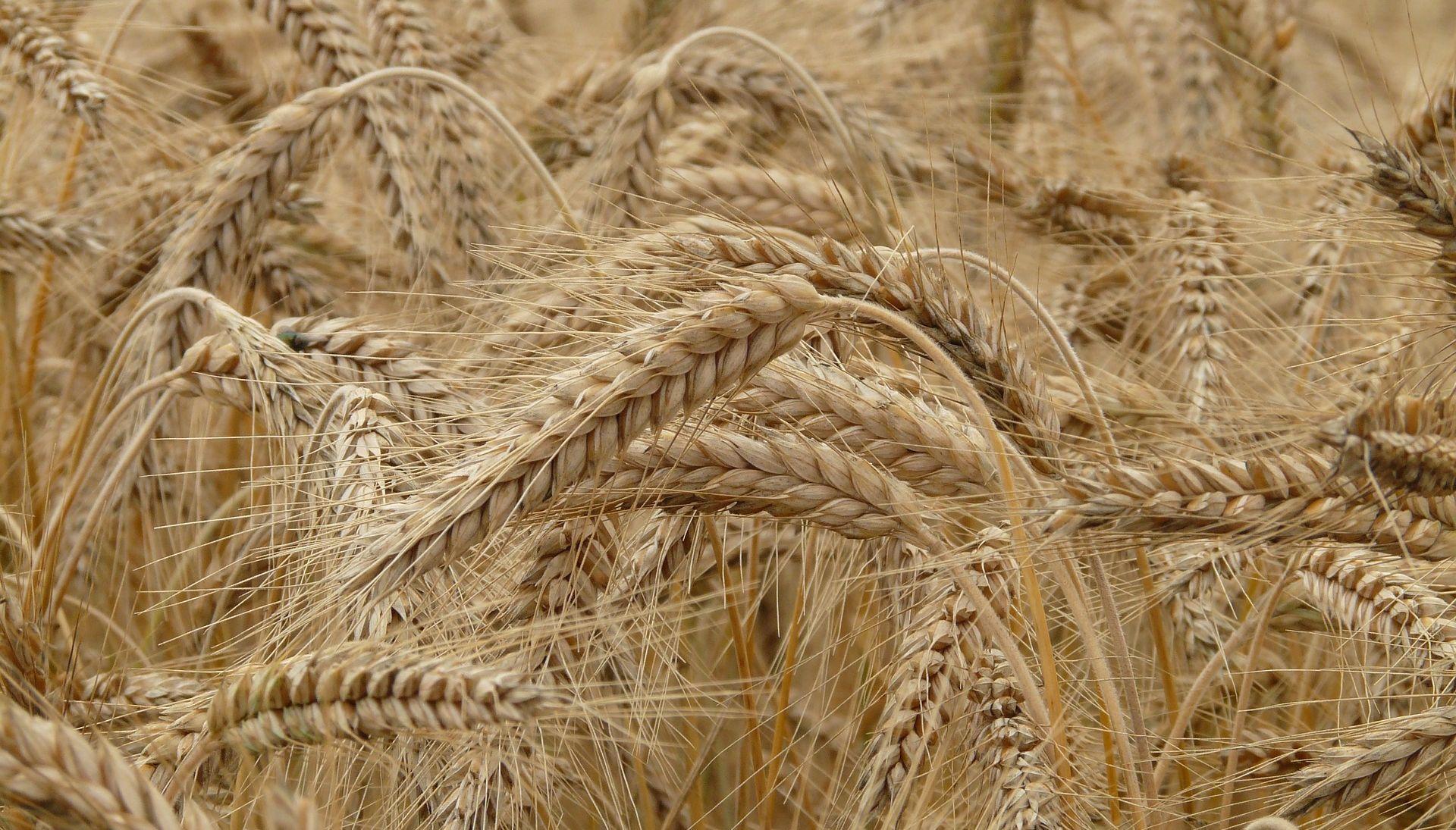 DRŽAVNI ZAVOD ZA STATISTIKU Pšenice proizvedeno 17 posto više