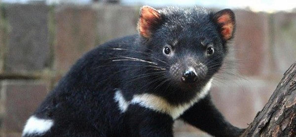 VIDEO: Tasmanijski vragovi vraćeni u svoje prirodno prebivalište