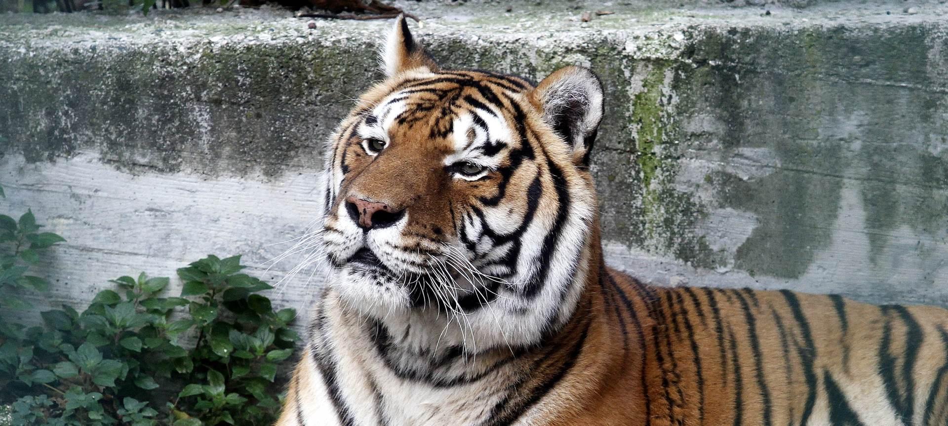 OPASNA IGRA: Tigar ozlijedio trogodišnjaka na Malti