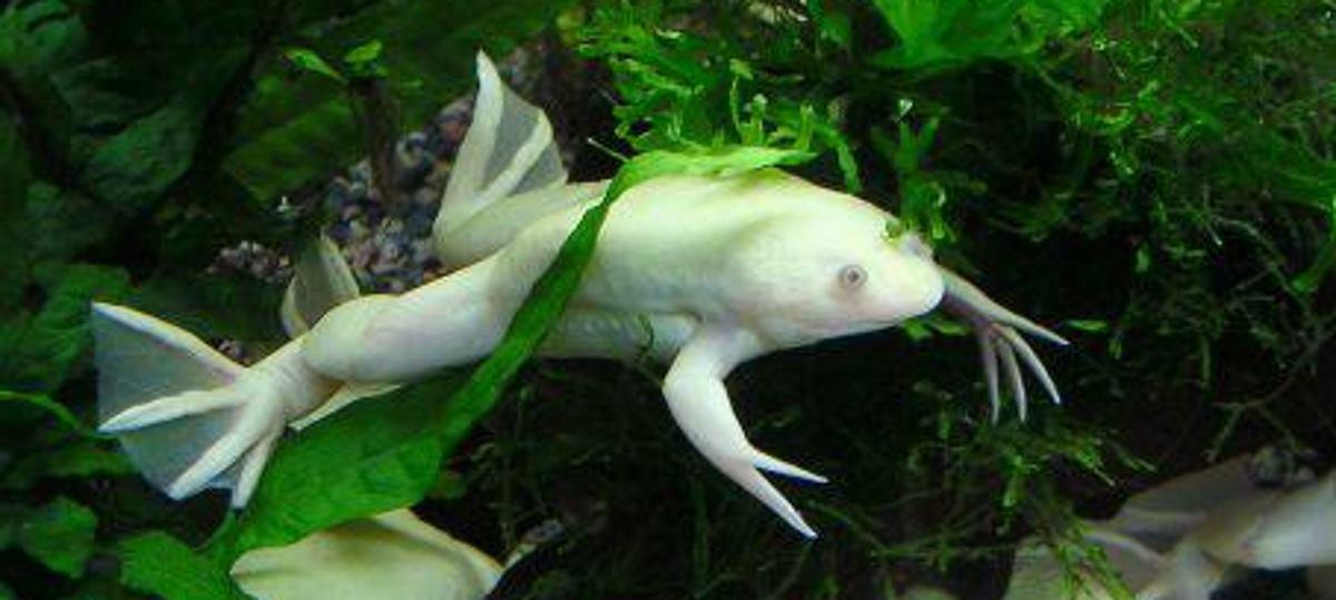 KORISNE U ISTRAŽIVANJIMA Otkriveno šest novih vrsta žaba iz obitelji Xenopus laevis