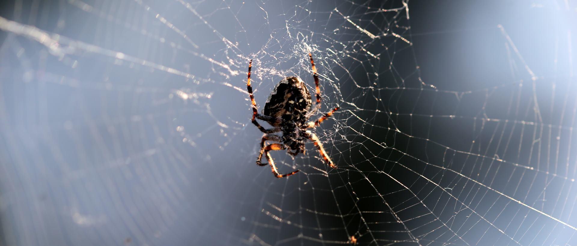 VIDEO: Kratak film o Divovskom madeirskom pauku