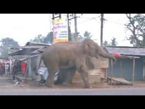 VIDEO: KAOS U INDIJI Slon dolutao iz šume i sedam sati 'šetao' po gradu Siliguriju