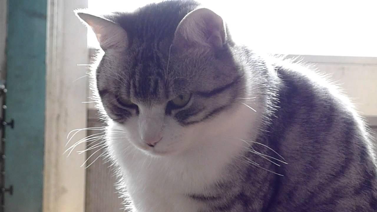 VIDEO: Japanski mačak opasnog pogleda