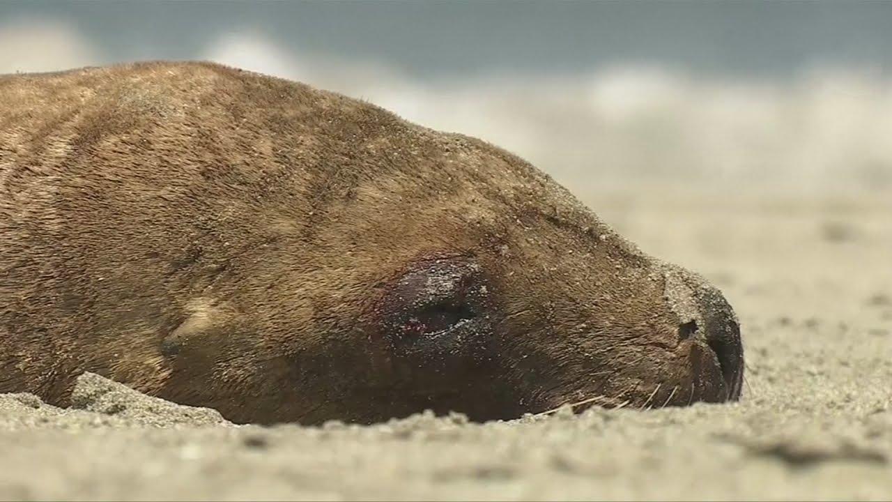 VIDEO: Više desetaka morskih lavova pronađeno je mrtvo na čileanskoj obali