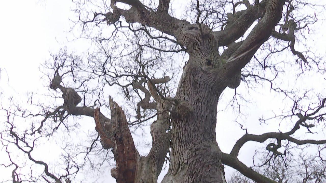 VIDEO: Jedna od najstarijih hrastovih šuma u Europi