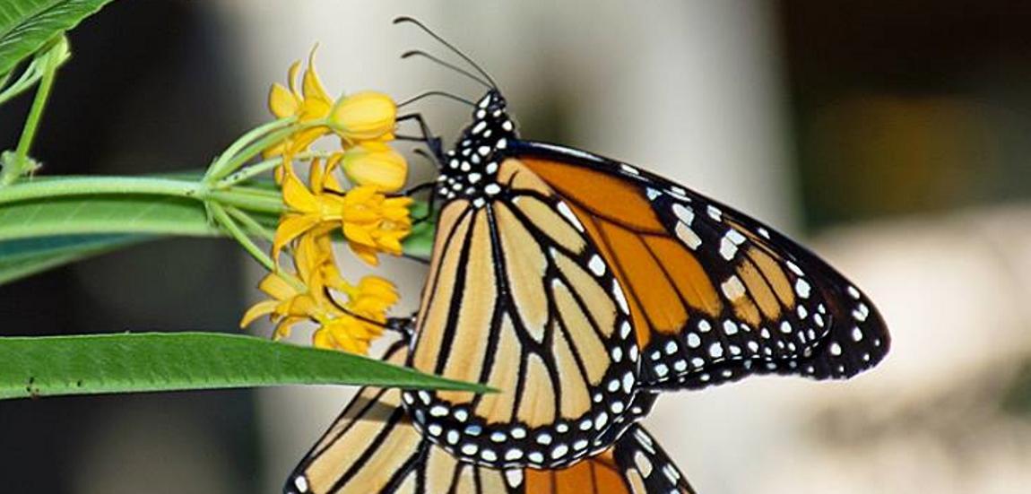 VIDEO: Otkrivena tajna migracija leptira monarha iz Kanade do Meksika