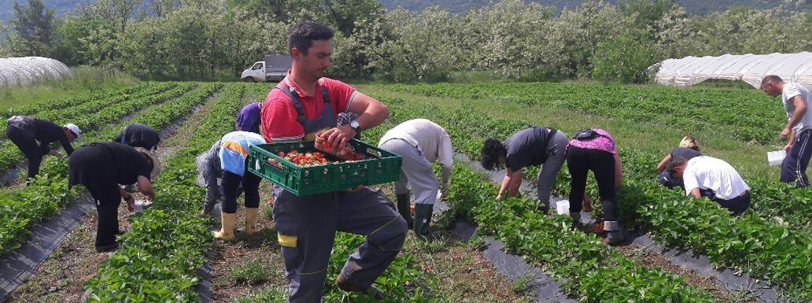 Proizvodnja jagoda – skrivena prilika za hrvatske poljoprivrednike