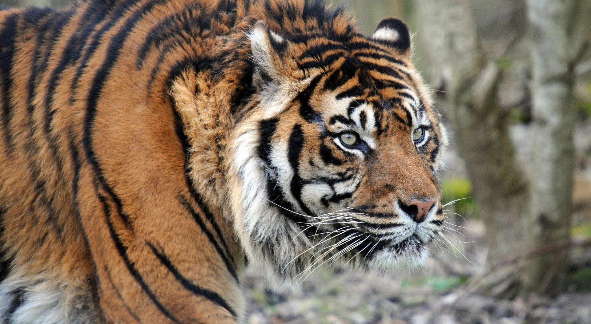 Tigrovi na slobodi blizu nizozemskog sela