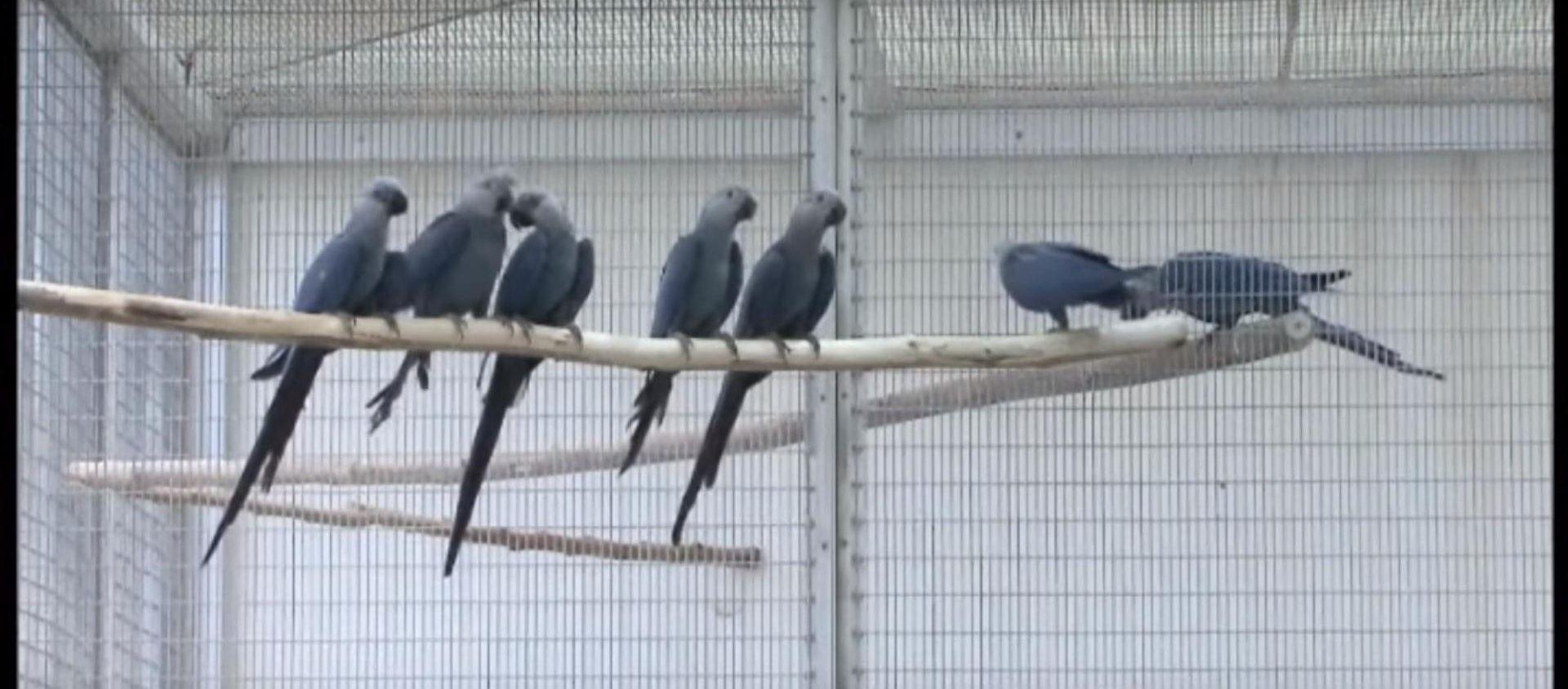 VIDEO: MISLILO SE DA JE IZUMRLA U Brazilu viđena rijetka ptica Cyanopsitta spixii