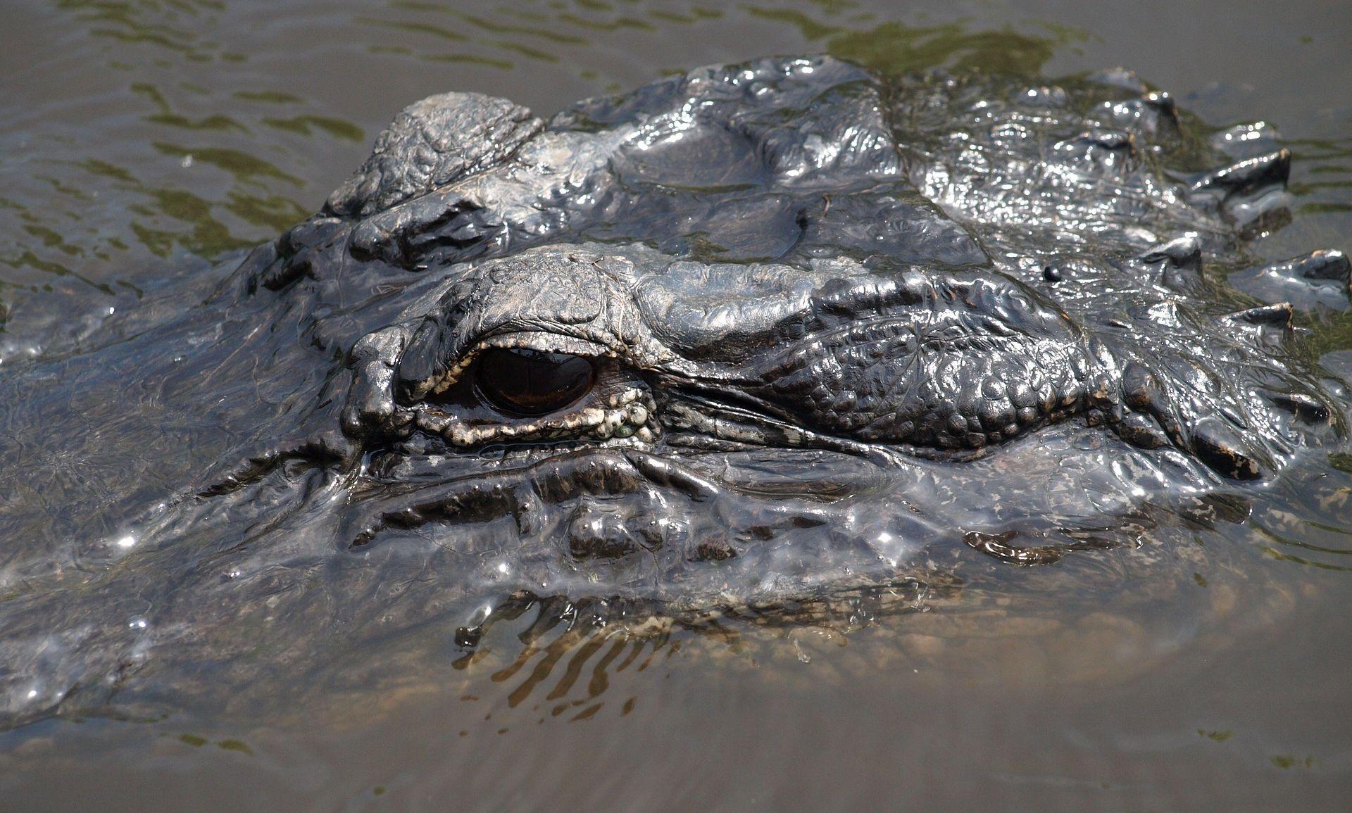FLORIDA Aligator odvukao dvogodišnjaka s obale, pretpostavlja se da je mrtav