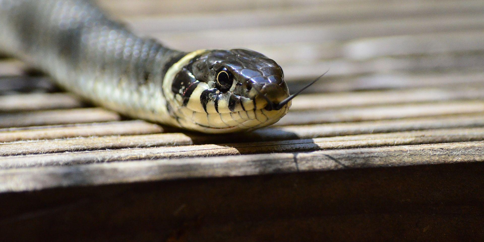 Stručnjaci: Više čovjek ugrožava zmije nego one ljude