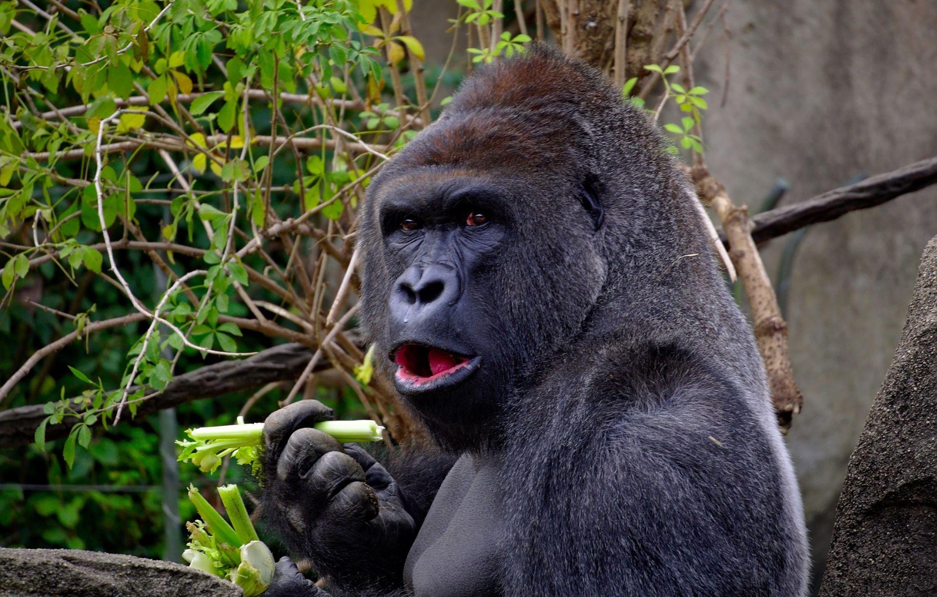 IUCN Krivolov doveo najveće gorile na korak od istrebljenja