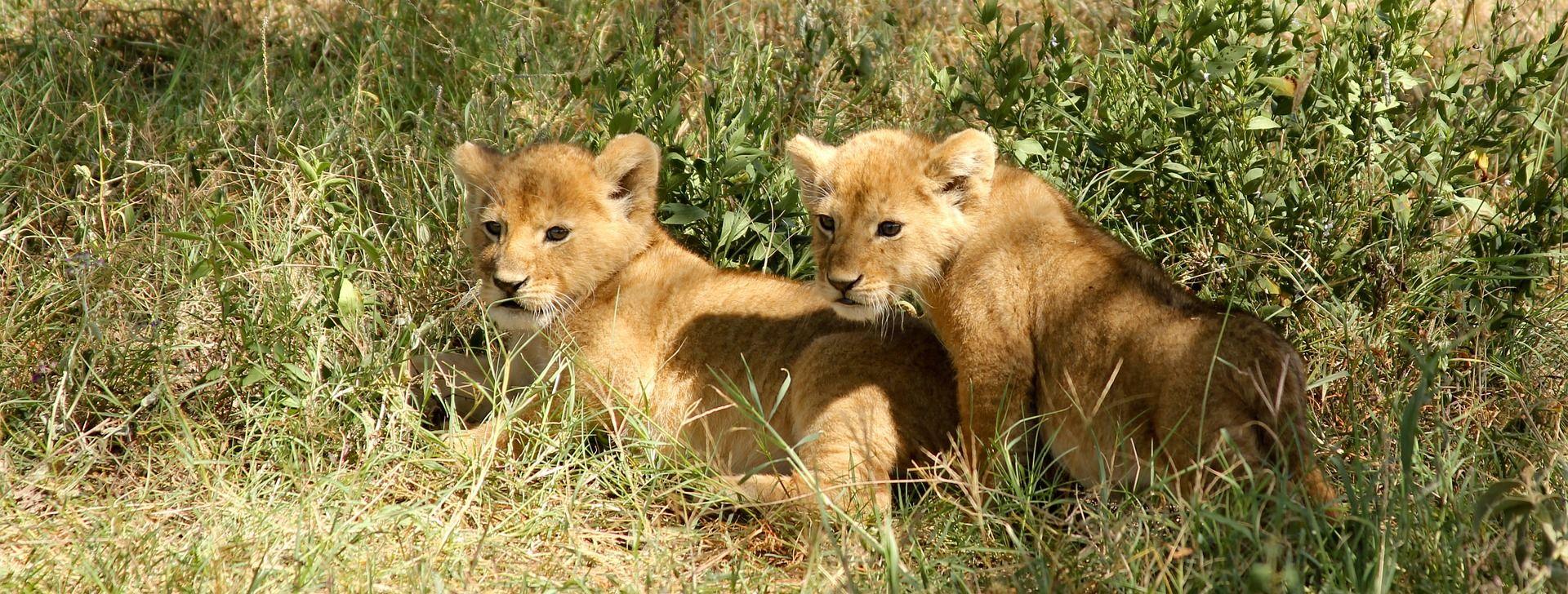 Zagrepčani biraju imena mladim lavićima iz ZOO-a
