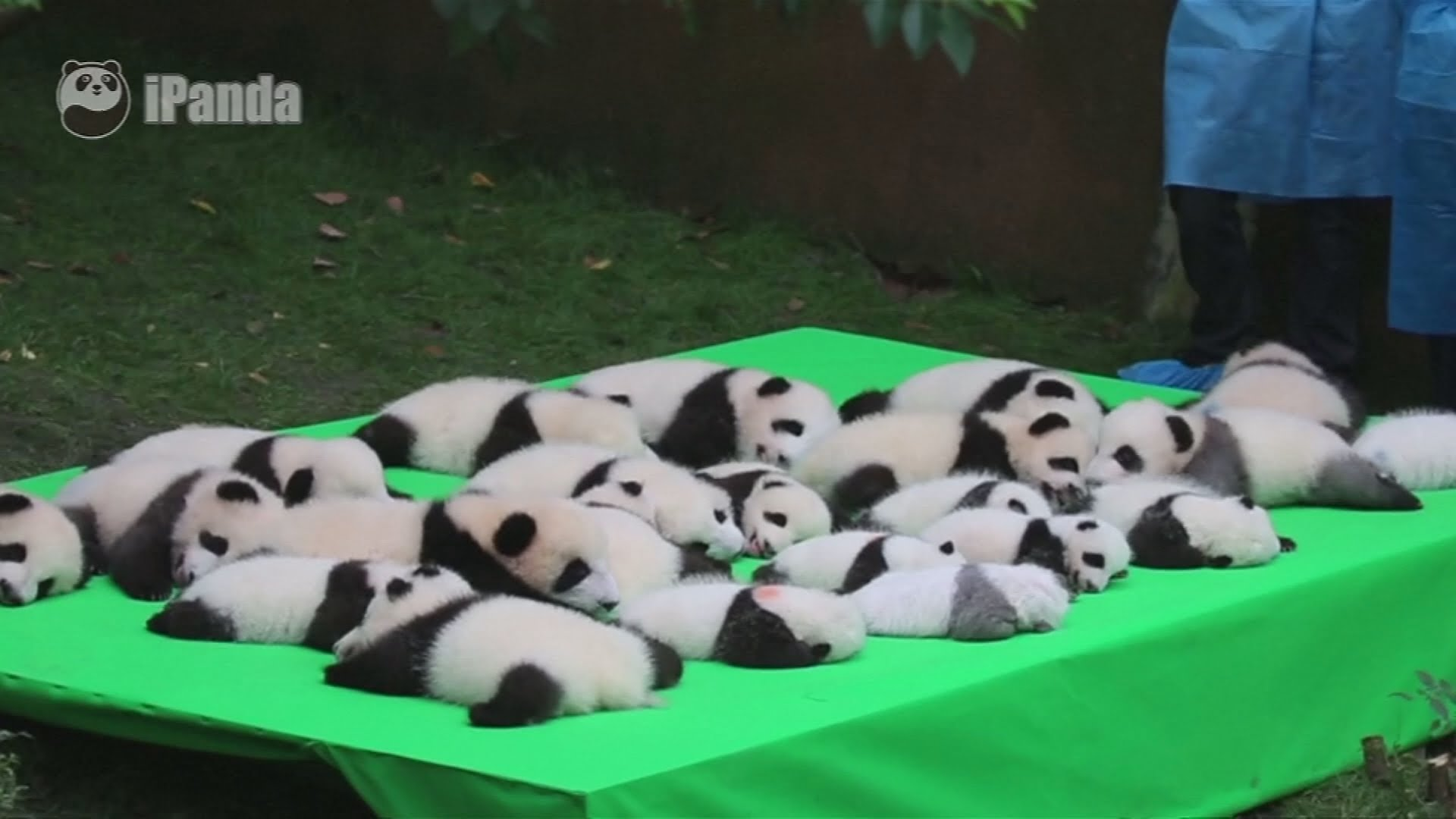 VIDEO: Mladunčad velikog pande uživa na zajedničkom predstavljanju