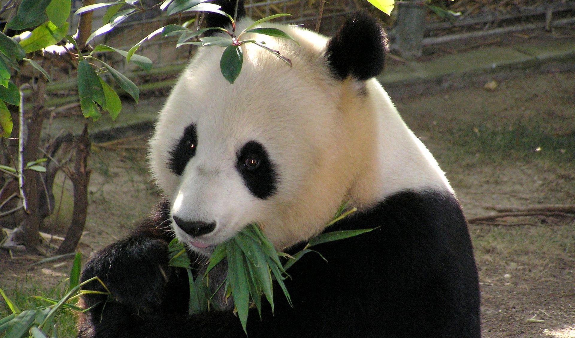 Velika panda više nije ugrožena vrsta