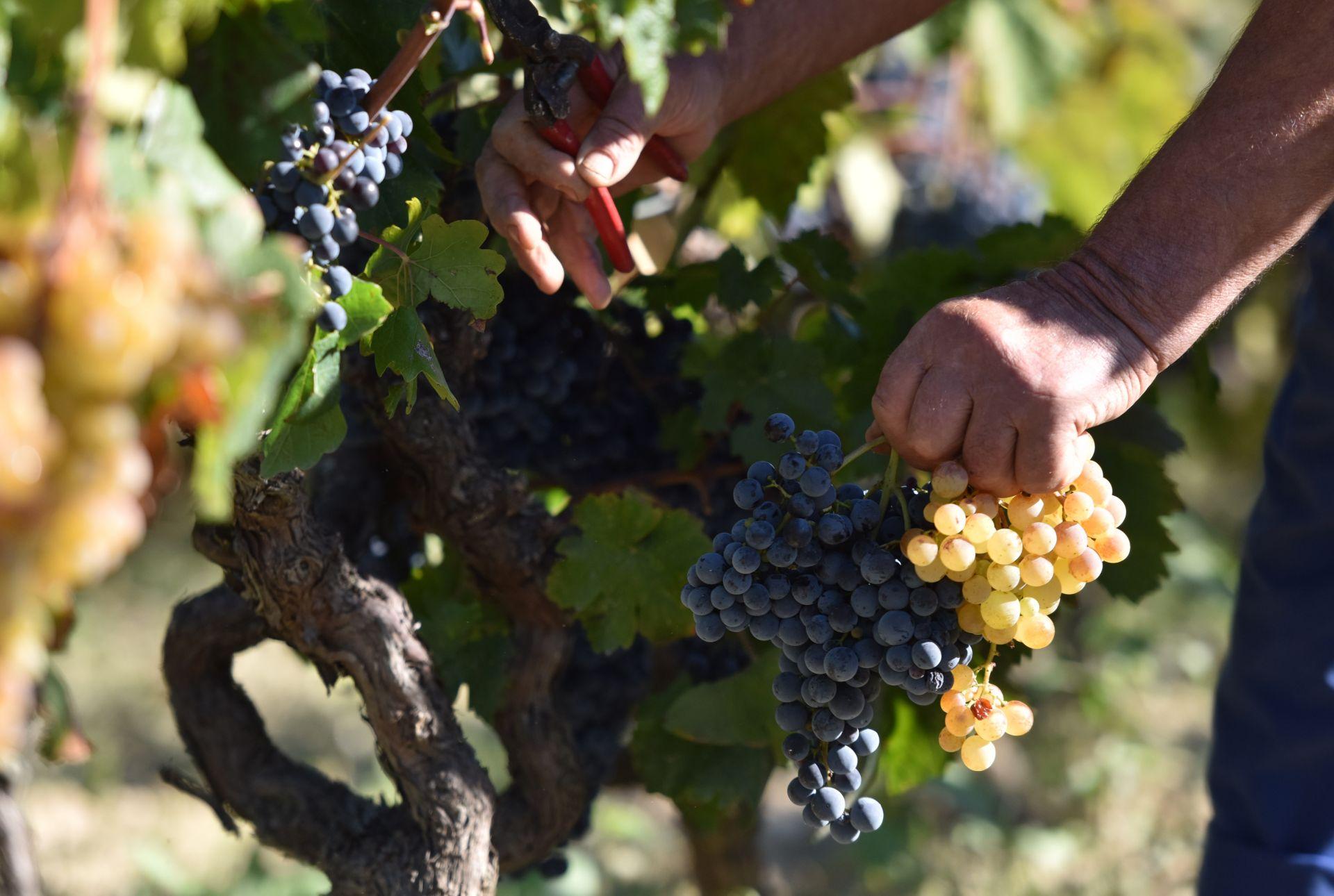 Otvoren predstečajni postupak nad šibenskom Vinoplod Vinarijom