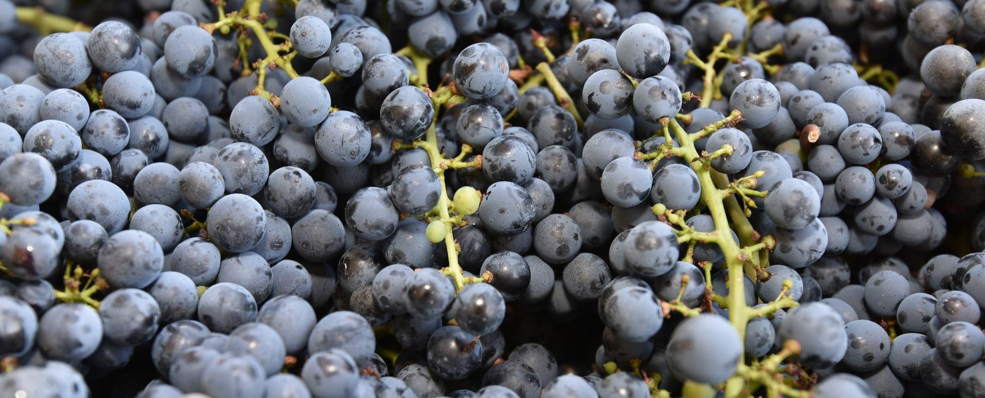 Resveratrol, sadržan u crnom grožđu, uravnotežuje hormonalni sustav