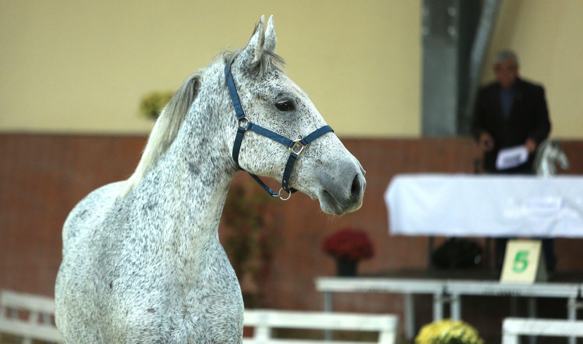 Prva aukcija konja na Ergeli Đakovo