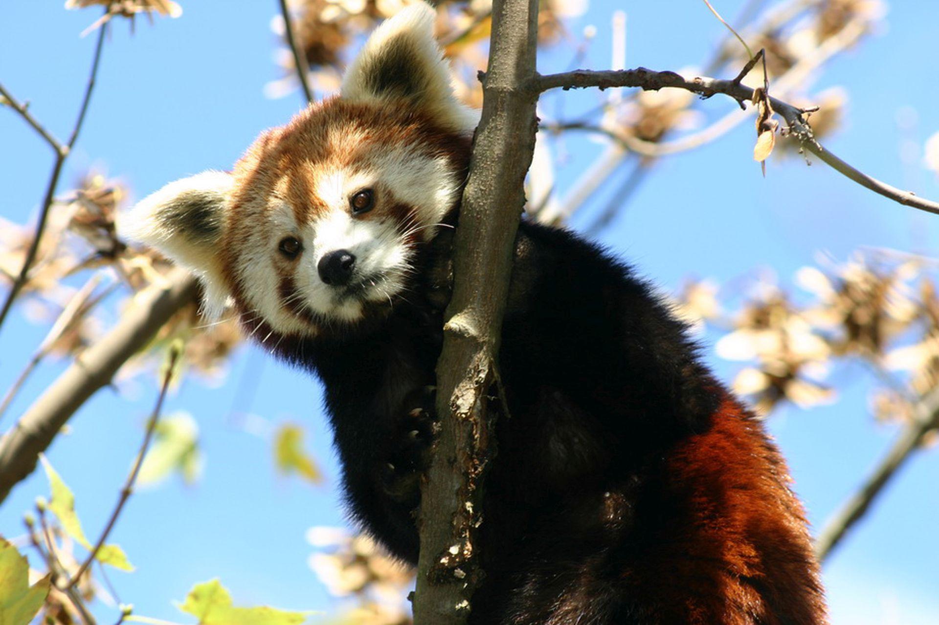 ZAGREBAČKI ZOO: U nedjelju Dan crvenih panda