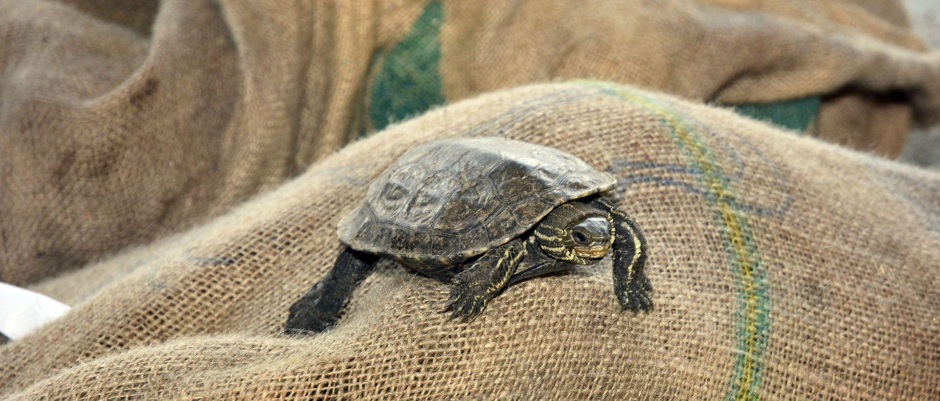 Carina zaplijenila čak 715 kornjača