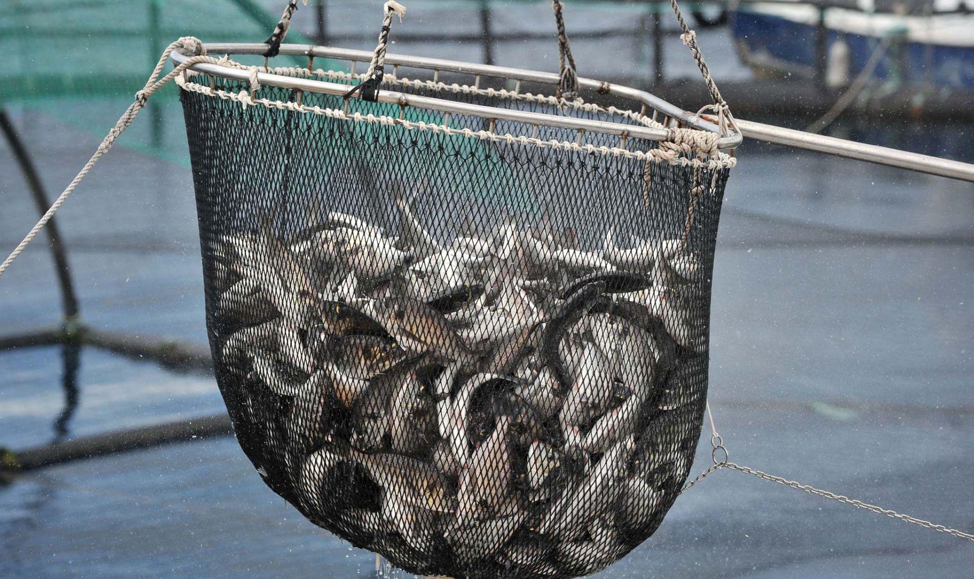 Hrvatski državljanin pokušao krijumčariti 200 kg ribe iz RH u BiH