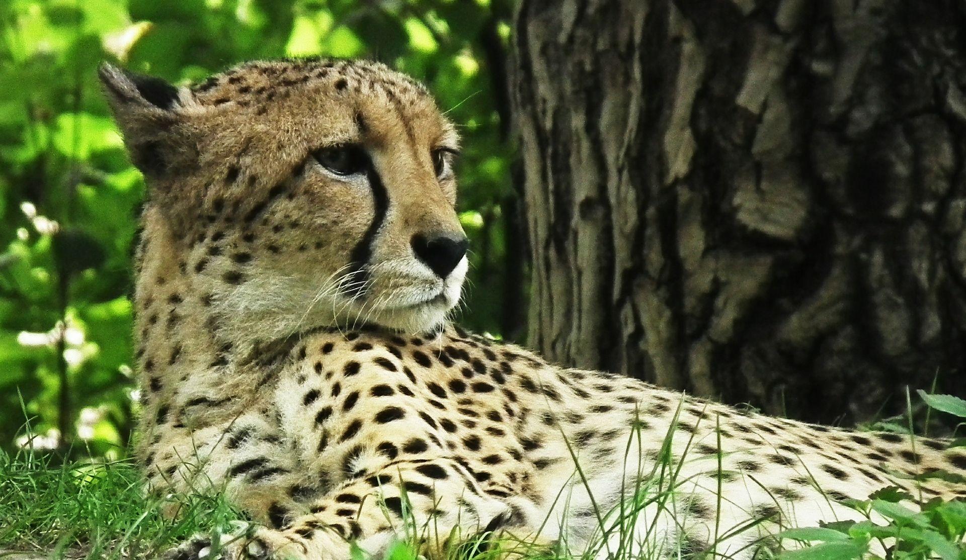 STRUČNJACI UPOZORAVAJU Gepardima prijeti izumiranje