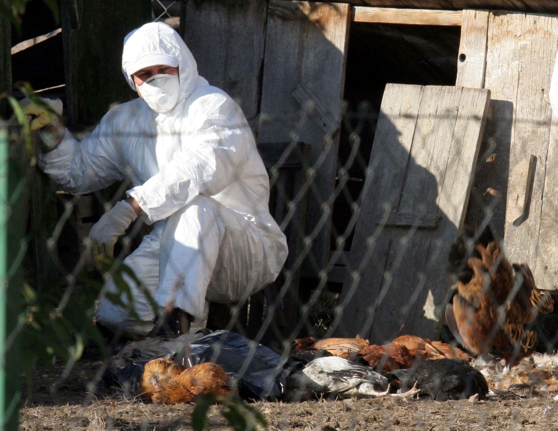 MINISTARSTVO POLJOPRIVREDE: Kod domaće peradi utvrđena ptičja gripa, nema opasnosti od širenja