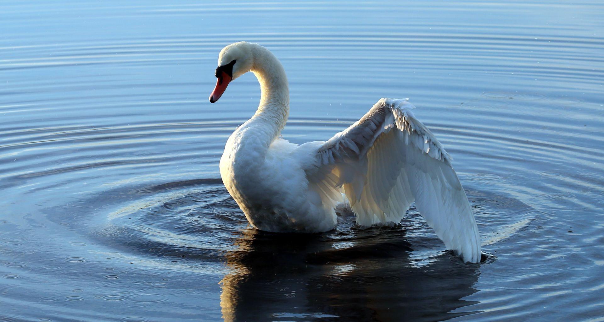 Labudica Rajna amputiranog krila puštena u jezero kod Šibenika